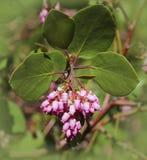 Flor de Manzanita Imagens de Stock