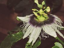 Flor de Maracuja foto de stock