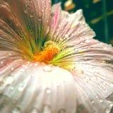 Flor de Marchmallow Imagen de archivo libre de regalías