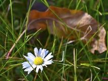 Flor de Margarita Fotografia de Stock