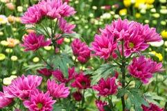 Flor de Margenta Fotos de archivo