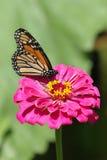Flor de mariposa 3 Fotos de archivo