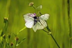 Flor de mariposas Fotografía de archivo libre de regalías
