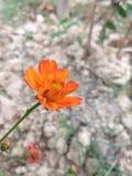 Flor de Marrygold imagen de archivo libre de regalías