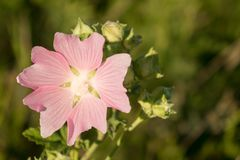 Flor de Marsh Mallow (Althaea Officinalis) Planta medicinal Blos fotografía de archivo