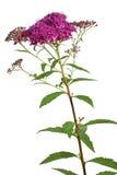 Flor de Meadowsweet en blanco Fotos de archivo libres de regalías
