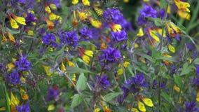 Flor de Melampyrum, nemorosum de Melampyrum no prado video estoque