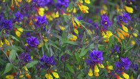 Flor de Melampyrum, nemorosum de Melampyrum no prado filme