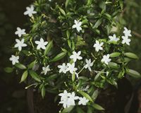 Flor de Melati Imagem de Stock Royalty Free