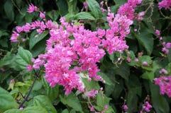 Flor de Mexicreeper Foto de archivo libre de regalías
