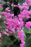 Flor de Mexicreeper Imagen de archivo