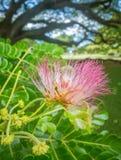 Flor de Monkeypod Imagem de Stock Royalty Free