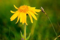 Flor de Montana de arnica imagens de stock royalty free