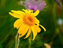 Flor de Montana de arnica imagem de stock royalty free