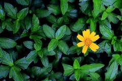 Flor de Montana de árnica Fotos de archivo