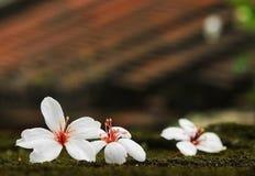 Flor de Montana do Aleurites, mistura branca com parte traseira agradável Imagem de Stock Royalty Free