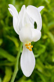 Flor de Moringa Foto de archivo