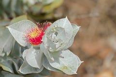 Flor de Mottlecah (macrocarpa do eucalipto) no vermelho com cinza de prata Imagem de Stock