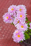 Flor de Mun do florista cor-de-rosa Fotos de Stock Royalty Free