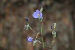 Flor de Murdannia Giganteum Fotos de Stock Royalty Free