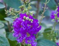 Flor de Myrtle Catawba del crepé foto de archivo