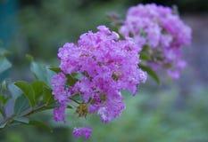 Flor de Myrtle Catawba do crepe Fotos de Stock Royalty Free