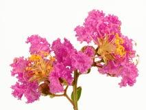 Flor de Myrtle de Crepe de la lila fotos de archivo