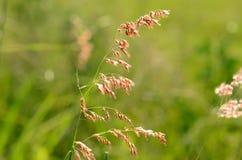 Flor de Natal Grass (repens de Melinis) Imagenes de archivo