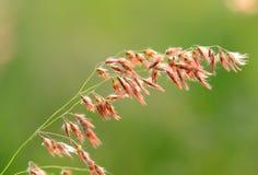 Flor de Natal Grass (repens de Melinis) Foto de archivo libre de regalías