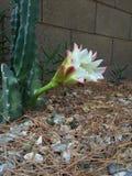 Flor de noche del tótem Foto de archivo