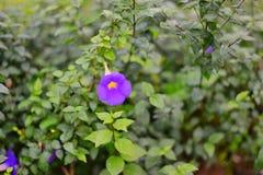 Flor de Oporajita fotografia de stock royalty free