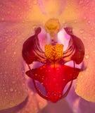 Flor de Orhid en cierre para arriba Imagen de archivo libre de regalías