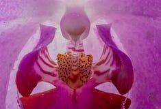Flor de Orhid en cierre para arriba Imagenes de archivo
