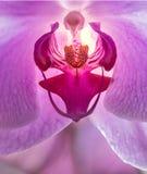 Flor de Orhid no fim acima imagens de stock