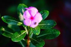Flor de Orkid Imagen de archivo libre de regalías