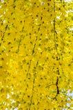 Flor de oro de la ducha Foto de archivo
