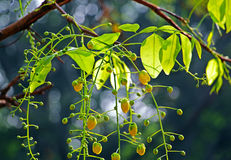 Flor de oro de la ducha Foto de archivo libre de regalías