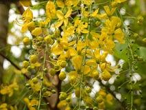 Flor de oro de la ducha Imagen de archivo libre de regalías