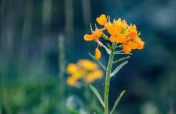 Flor de oro de Himalaya imagen de archivo