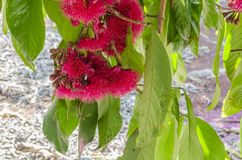 Flor de Othaheite Apple que pendura com folhas imagens de stock