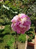 Flor de Oya Imagem de Stock Royalty Free
