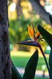 Flor de Pássaro--Paradise entre árvores imagem de stock
