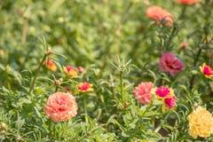 Flor de Paisley, oleracea de Portulaca fotos de stock royalty free
