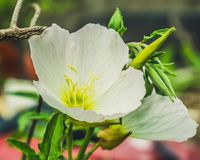 Flor de Pale Primrose Wild imagenes de archivo