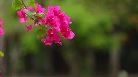 A flor de papel cor-de-rosa vívida da buganvília borrou o fundo verde video estoque