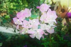 Flor de papel ou flor da buganvília no jardim Fotografia de Stock