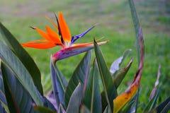 Flor de paraíso imagen de archivo