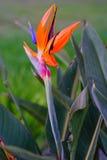 Flor de paraíso fotografía de archivo