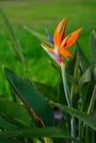 Flor de paraíso imágenes de archivo libres de regalías