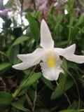 Flor de Paravi Fotografia de Stock